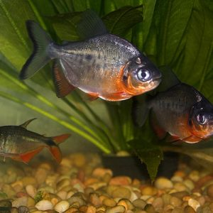 red_pacu